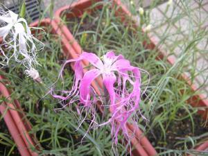 松阪撫子・・・今年…|「オカダフローリスト」 (三重県松阪市の花屋)のブログ